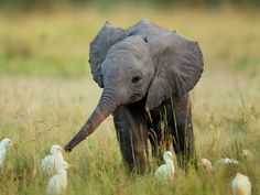 hello small feathered things i am a baby elephant it is nice to meet you may we shake noses?  MAY WE SHAKE NOSES