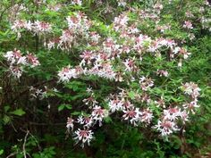 Pink native azaleas are wonderful additions to the wildlife garden.