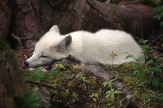 Albino Red Fox