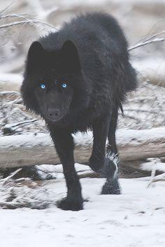 Black Wolf by Dan Newcomb Photography \\ MFL