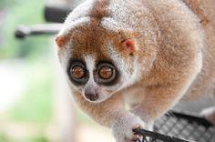 Tragédia animal: três animais com jeito de bicho de pelúcia e à beira da extinção