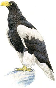 「日本の鳥百科」オオワシの紹介です(鳴き声あり)。全身黒っぽい茶色で、翼の前と尾羽、足の羽毛が白色で、遠くからもこの白色はよく目立ちます。くちばしの橙黄色が大きいのも特徴です。