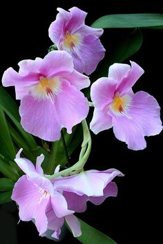 Pansy Orchid hybrid long lasting on the plant short life as cut flower.