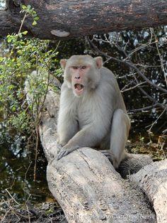 Макака-резус - Macaca mulatta - Rhesus macaque