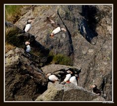 ATLANTIC PUFFIN. RUNDE NORWAY. TONE LEPSOES PICTURES.