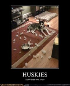 Huskies make their own snow #dog #husky #animal    Exactly what my living room looks like every day!!1