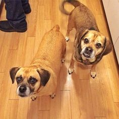 There is nothing better than waking up to these cute faces everyday. Happy National Dog Day Nelson and Gertie!!! #pups #mydogs #ThePuggles #munchkins