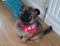 Dixon, a German Shepherd Puppy, (pictured) in February, was born with rare genetic problems that left him unable to walk properly