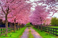 a driveway lined with cherry trees is my equivalent of ocean views