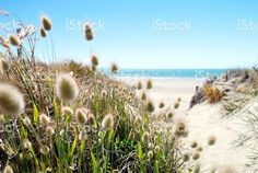 It Looks a warm. with ・・・ Take Me to the Cotton-Tail Grass Heads Bob Gently Along a Sandy Path to Distant Turquoise Waters. Royalty-Free Stockphoto available in my Portfolio. See Link in Bio. The World Race, Kiwiana, Photography For Sale, Commercial Art, Turquoise Water, Embedded Image Permalink, Image Now, Paths, Grass