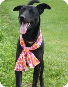 Duluth, MN - Labrador Retriever Mix. Meet Barbara a Dog for Adoption.