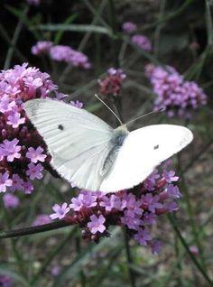 A white Pieris rapae #butterfly #Pierisrapae