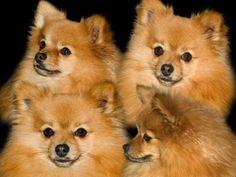 99 Best Pomeranian Dogs Images Pomeranian Puppy Pomeranian