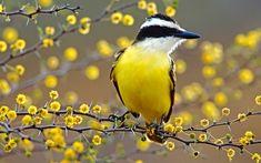 Kiskadee Flycatcher - Bird, Flycatcher, Kiskadee, Yellow