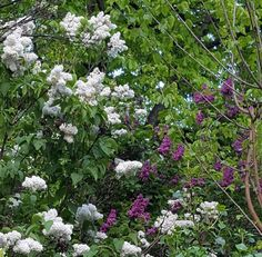 It's spring at last! And it's full oflilac flowers in Buda.