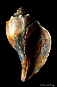 knobbed whelk love the blue and the orange