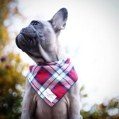Hey bae feel my bandana...know what it's made of? Boyfriend material  Bandana by: @bonefide.collection by greysonthedapperfrenchie