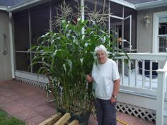 Ann's corn is doing well in her Grow Box, don't you think?  - Ann G., St. Simons Island, GA