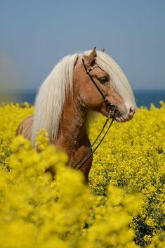 Cute horse in yellow flower field.