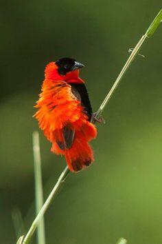 Bird Christmas Ornaments, Pretty Birds, Animals, Birds, Beautiful Birds, Animales, Animaux, Animal, Animais