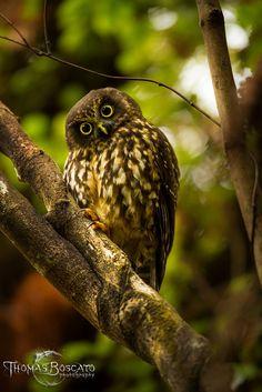 New-Zealand Owl