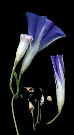 Morning Glories by Mary Tiegreen