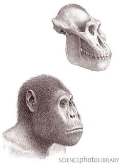 Australopithecus garhi skull and head, illustration. The remains of this early hominid were discovered in 1996 near the village of Bouri in the Middle Awash valley in Ethiopia, Africa. A. garhi lived in the pilocene era, between 2 and 3 million years ago.