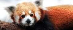 Red panda at the Ft Wayne Children's Zoo (IN)