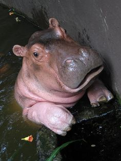 Hippopotamus calf...cutest ever!   ...........click here to find out more     http://googydog.com