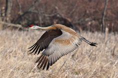 Flying Crane by GLASman1, via Flickr