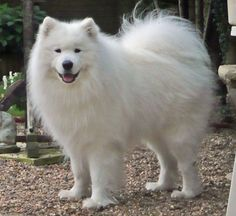 The Samoyed is a breed of dog that takes its name from the Samoyedic peoples of Siberia. These nomadic reindeer herders bred the fluffy white dogs to help with the herding, and to pull sleds when they moved.  $4,000 – $11,000