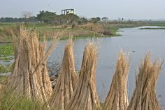 Jute, grows every year