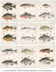 Collage Sheet John Edwards Holbrook VINTAGE Fish Plates by joapan, $1.49