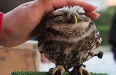 Adorable baby owl... I want to pet it too!!!