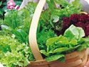 How to plant and grow lettuce.