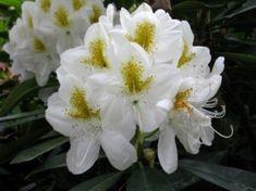 Rhododendron 'Catawbiense Album'