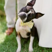 boston terrier head tilt - so cute