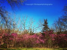 Eastern Redbud Trees in full Bloom on my property. Glorious flowers. . . . #princetonnj #princeton #pocket_usa #country_features #bns_landscape #beautifuldestinations #artofvisuals #garden_explorers #lindaparkphotography #lookpithandvigor #springday #redbudtree #picture_to_keep #pocket_pretty #icu_usa #usa_photolovers_member #wow_america #treestagram #just_newjersey #centraljerseyexists #towntopics #princetonmagazine #harte_ace #ig_newjersey #ig_nature #eye_for_earth