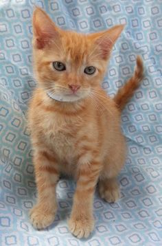Meet Frankie 22512, a Petfinder adoptable Domestic Short Hair Cat | Prattville, AL | Frankie is a 6-week old male, orange tabby kitten.Dogs and puppies may be adopted for a fee of...