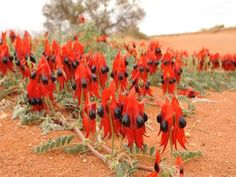 Swainsona formosa, or Sturt's Desert Pea, is one of Australia's best known plants, famous for its distinctive blood-red leaf-like flowers.