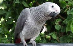 Congo African Grey Parrot – Also known as Congo parrots, they are grey color b. Kinds Of Birds, All Birds, Shades Of Gray Color, Dark Shades, Tropical Birds, Exotic Birds, Birds Name List, African Rainforest, Crow Pictures