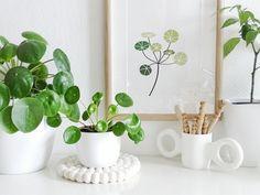 Pilea peperomioides - Pflanzenfreude.de