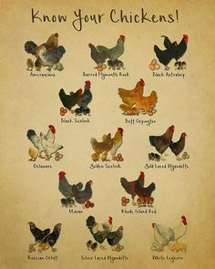 A chart showing various chicken breeds, with a vintage feel.... Please selected size and background colors from the dropdown menus.... This item is an UNFRAMED original fine art print, produced with premium, archival inks on the highest quality photo stock paper. The image is rendered