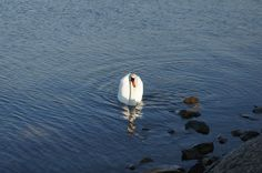 Swan (Łabądź) Animals Photos, My Animal, Swan, Bird, Pictures, Photos, Swans, Birds, Grimm