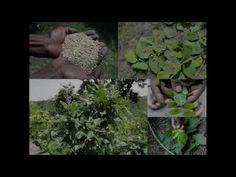 Medicinal Rice B4 Formulations for Ramdataun Allergy: Pankaj Oudhia's Me...
