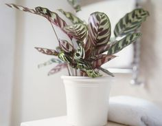 calathea-makoyana-peacock-plant-growing-in-white-ceramic-pot-73740648-57c5b5993df78cc16ead55a4