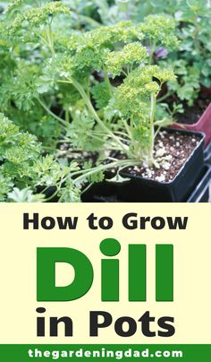 Are you interested in learning how to grow dill all year long? Then read How to Grow Dill from Seed for 10 Quick Tips for bigger and better Dill! Growing Dill From Seed, Herbs, Dill, Hanging Herbs, Easy Plants, Indoor Gardening Supplies, Planting Herbs, Healthy Garden, How To Grow Dill