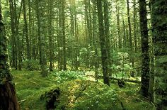 Boreal Forest Floor, Newfoundland and Labrador:  Wetlands, composed of acidic peat bogs, fens and marshes cover large areas of the boreal forest (photo by Bill Brooks/Masterfile).