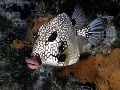 Smooth Trunkfish  - Photograph by Wolcott Henry