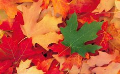 Maple leaves wallpaper Photography wallpapers